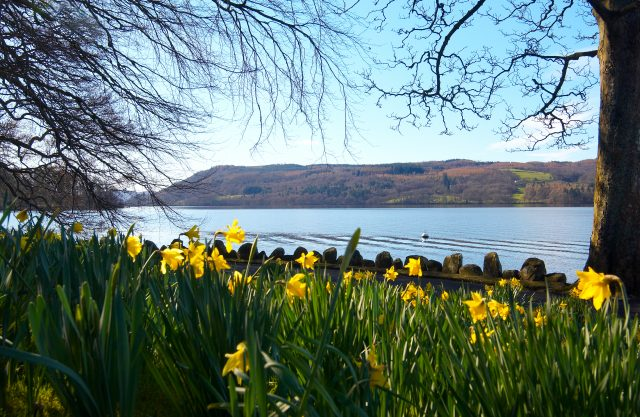 Spring Photo shoot of daffodils 2007. Lake Windermere.
